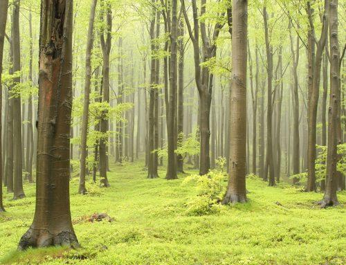 Wszystko, co trzeba wiedzieć o drewnie dębowym
