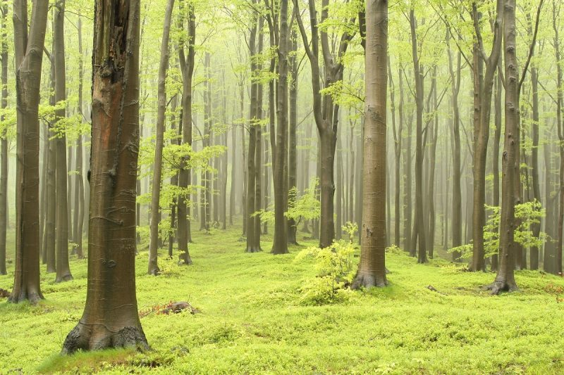 Dęby w lesie liściastym