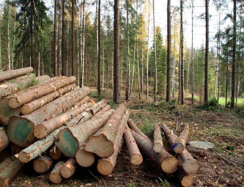 Drewno świerkowe od A do Z