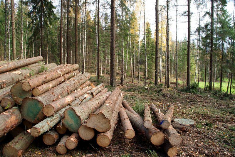 ścięte drewno świerkowe w lesie przy podlaskim tartaku