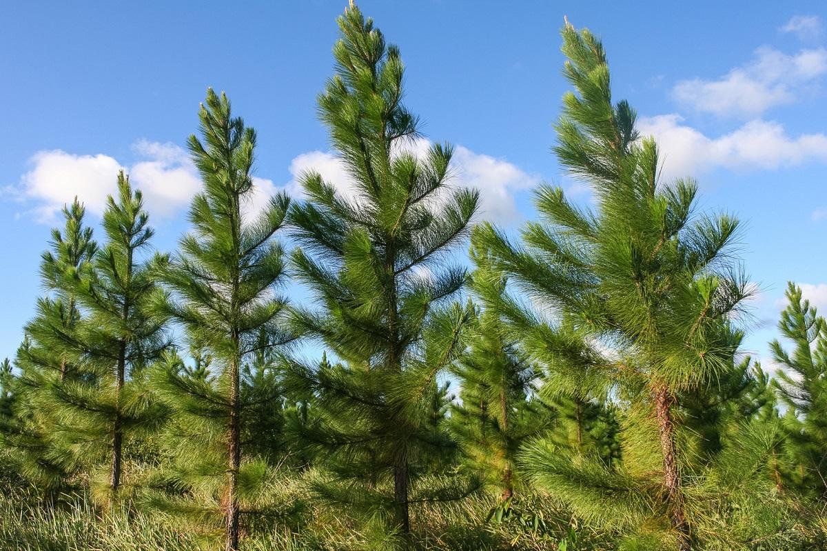 drzewa iglaste przeznaczone na tarcicę sosnową