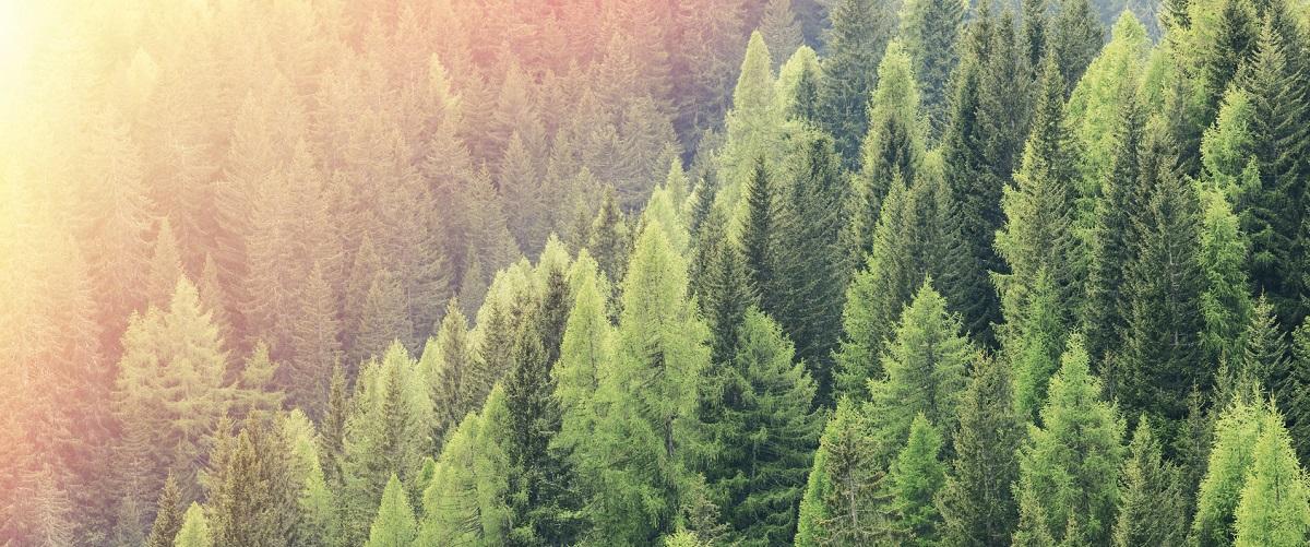 drzewa świerkowe przeznaczone do wycinki na drewno