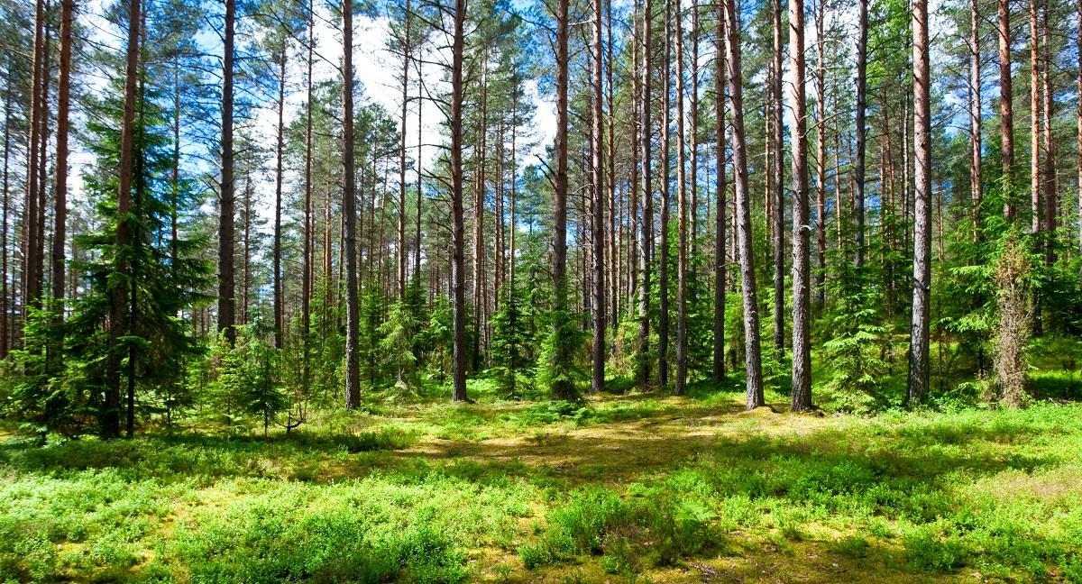 sosny rosnące w lesie iglastym letnią porą roku