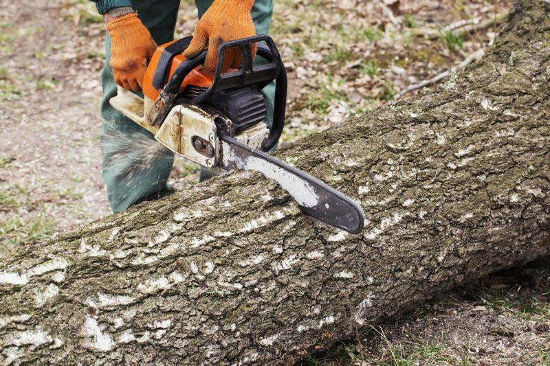 pracownik tartaku przecinający drzewo za pomocą piły łańcuchowej