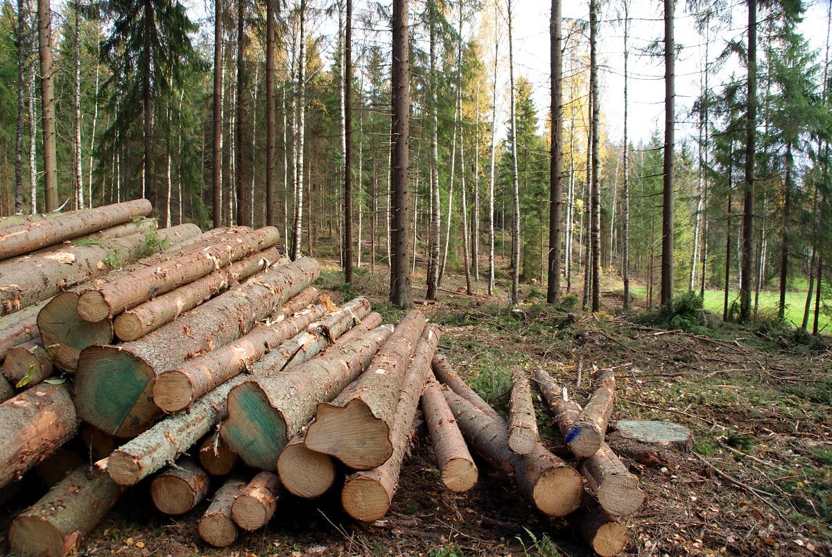 drzewo przed sprawdzeniem wad drewna
