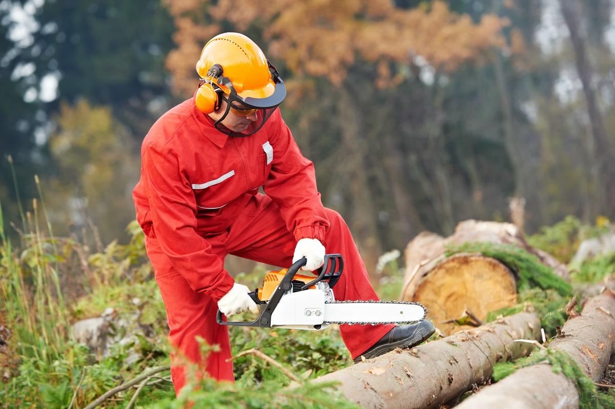 drwal ścinający drzewa iglaste