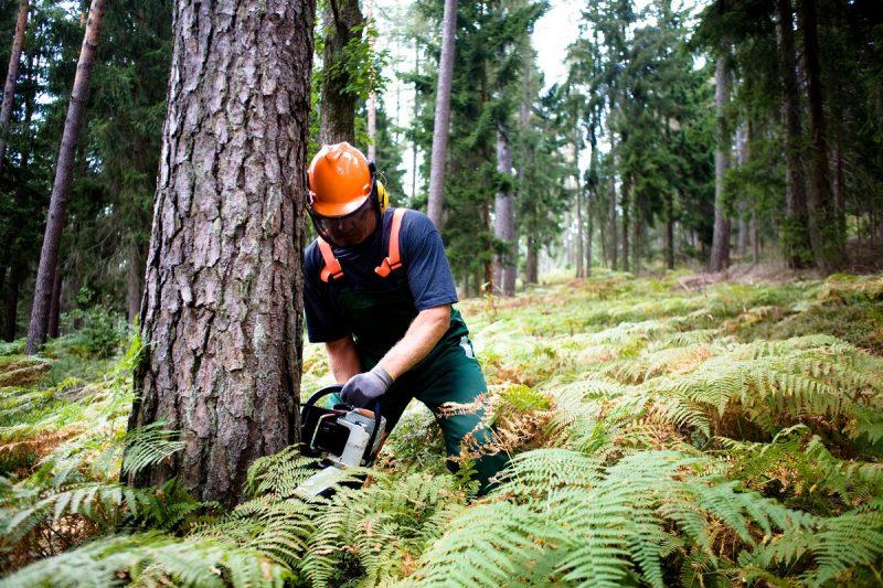 Drwal ścinający sosne w lesie iglastym