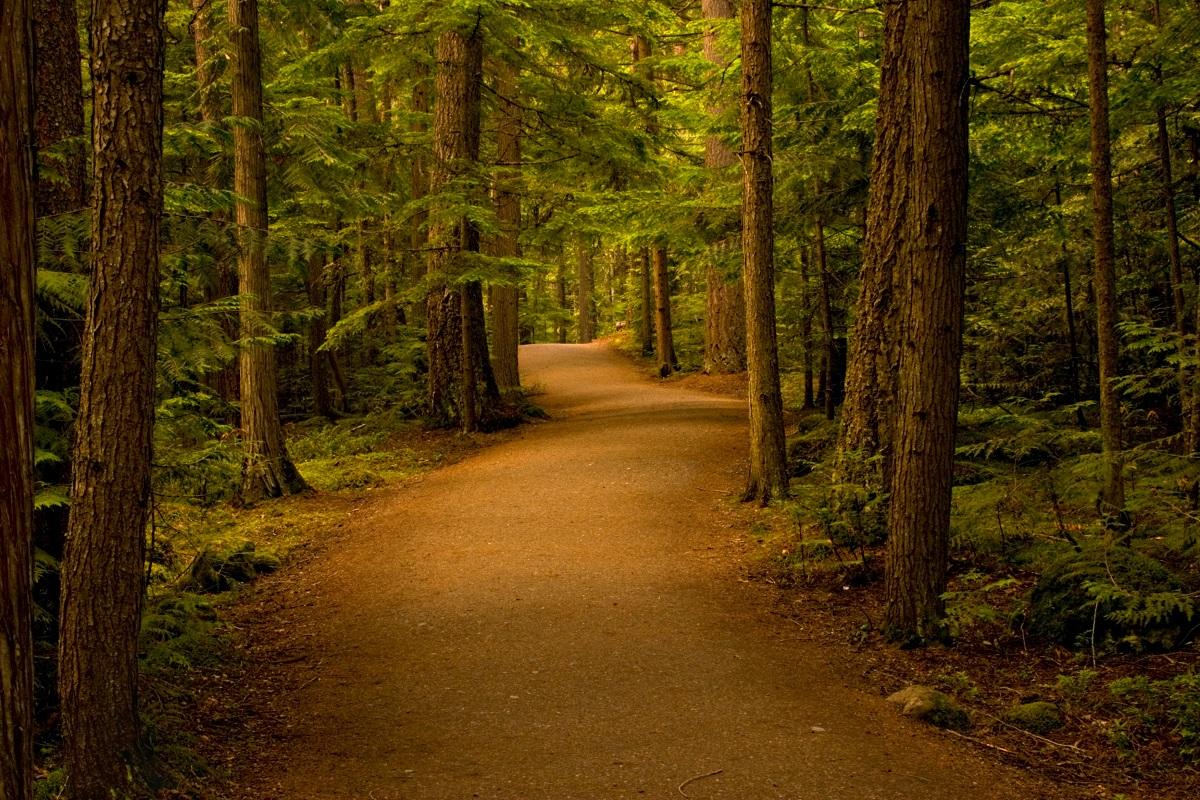 Las iglasty pełny drzew sosen
