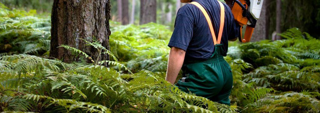 drwal w lesie iglastym w poszukiwaniu drewna sosnowego