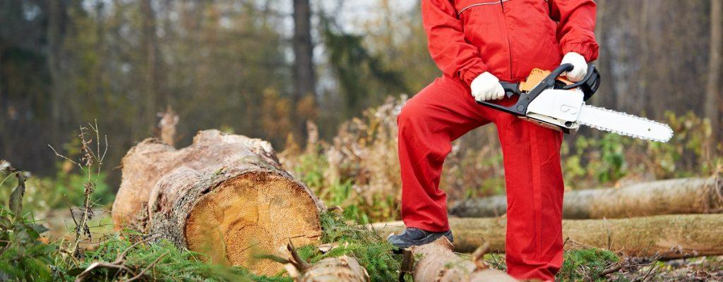 ścinanie drewna na tarcice sosnową nieobrzynaną