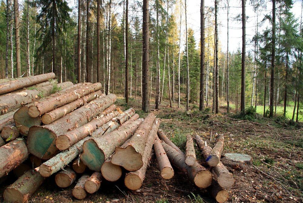 drewno zlożone po ścięciu